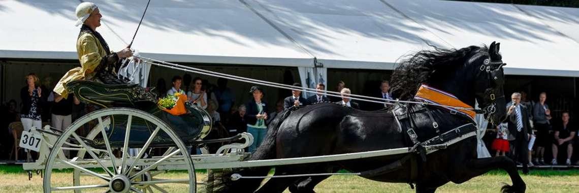 Friese tuigpaard foto 3